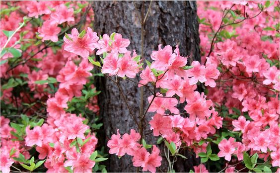 rododendron fajtával ismerkedjetek meg!