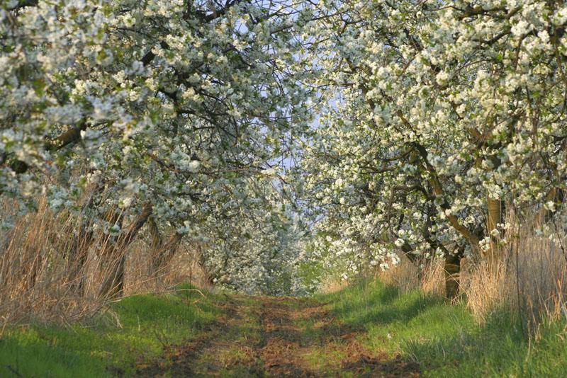 Nagykörű fái (fotó: www.szepmezo.hu)