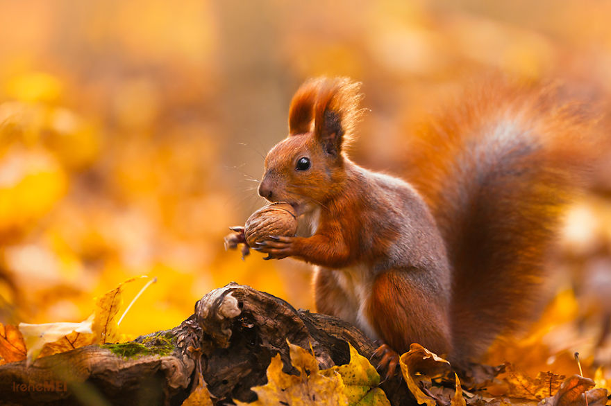 Red squirrel spinning a walnut to find a perfect side to put it into the mouth.